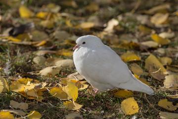 portrait of a white dove