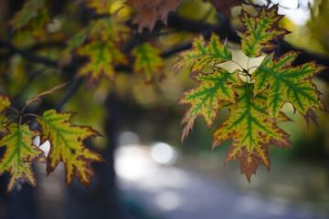дубовые листься