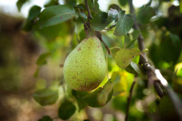 Green pear on the branch