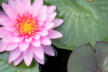 Thai lotus in pond