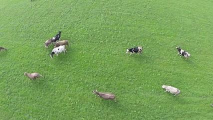 vista aerea di vacche al pascolo