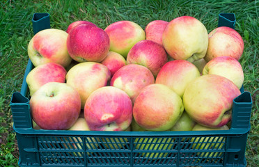 Large Mature apples in the container for storage..