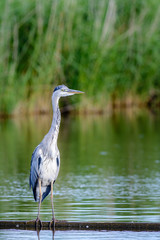 Grey Heron (Ardea cinerea) foraging at a lake.