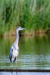 Grey Heron (Ardea cinerea) foraging at a lake.