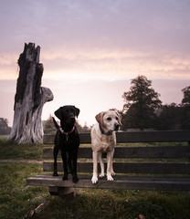 labradors at sunrise