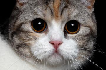British cat with big round eyes