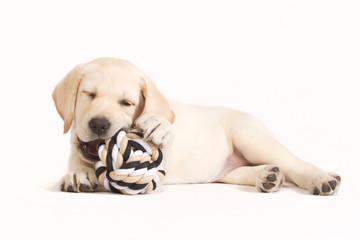 Labrador puppy biting in a ball