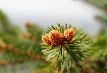 Coniferous branch