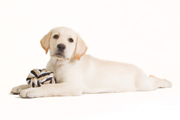 Labrador puppy with a beige ball