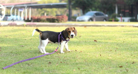 Beagle dog on grass