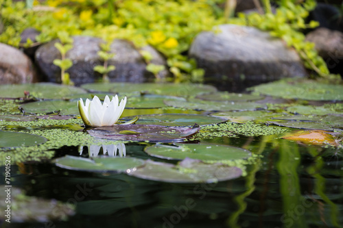 Staande foto Lotusbloem Water lilly