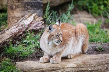 Elegant lynx