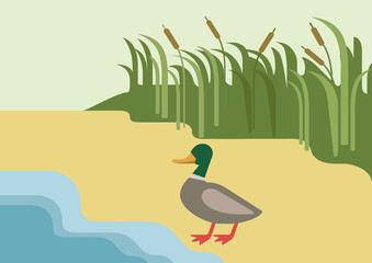 Drake duck river flat cartoon vector farm wild animal bird