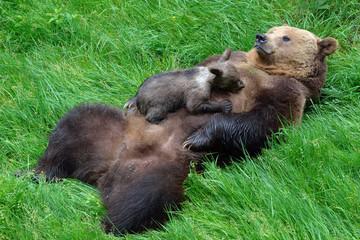 Braunbärweibchen (ursus arctos) säugt ihr Junges