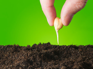 Female hand planting seedlings in the ground chickpeas. Close up