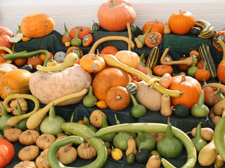 A Collection of Various Pumpkins and Squashes.