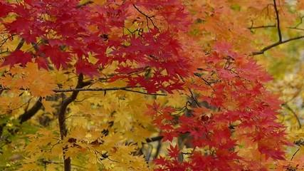 秋の風に揺れる紅葉_8