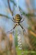 Wespenspinne, Wasp spider, Argiope bruennichi - 71908149