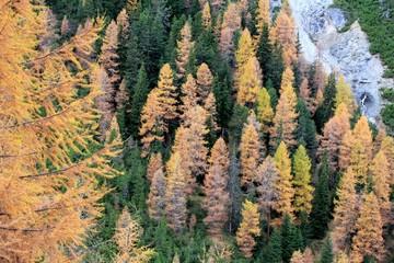 Herbstwald Lärchen