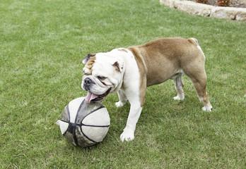 English Bulldog playing with a ball
