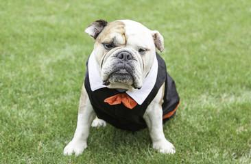 English Bulldog tuxedo