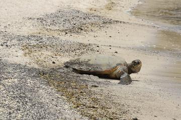 Beautiful endangered green sea turtle