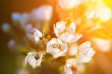Delicate flowers of apple and soft Backlit sunlight.