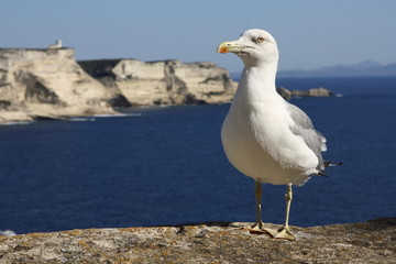 Seagull in front of a cliff coast