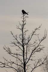 lonely raven up on a tree