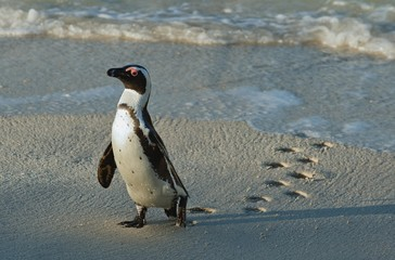 African penguin (spheniscus demersus) with footprint on sand.