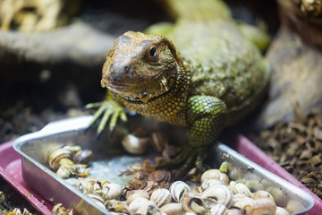 Caiman Lizard  eating snails