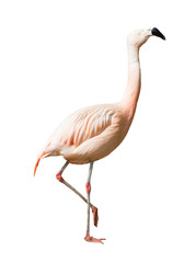 Full Length of Chilean flamingo (Phoenicopterus chilensis)