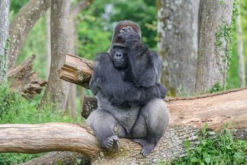 """Gorille """"dos argenté"""""""