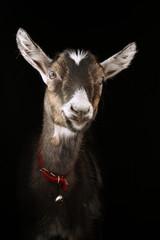 коза улыбается, the young goat smiles