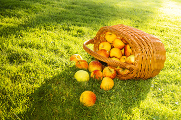Overturned wicker basket with apples on the grass