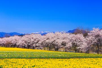 水仙街道と桜並木