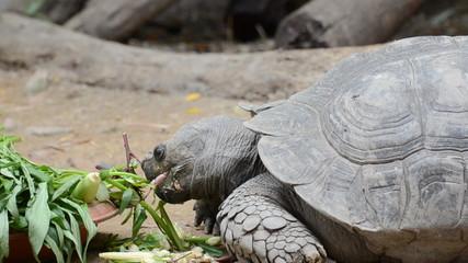 Tortoise eating vegetable in nature