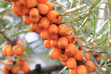 sea buckthorn fruits