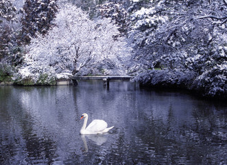 Beautiful Swan Lake in Winter Scene