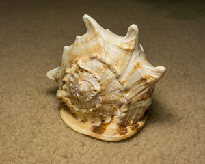 Beautiful Seashell