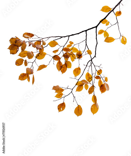 canvas print picture Yellow autumnal leaves on the tree branch isolated on white