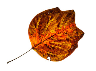 Isolated cracked red autumn leaf