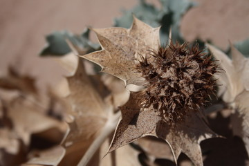 Eryngium, Apiaceae, calcatreppole, cardo