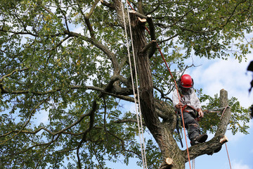 Tree Surgeon Lumberjack cutting tree
