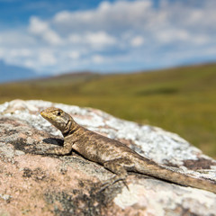 Lizard in road to Mount Roraima - Venezuela, Latin America
