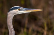 Great Blue Heron Profile in the Everglades