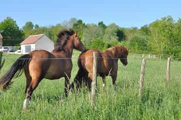 chevaux dans leur pré