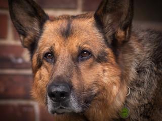 alter schäferhund mit grauem bart
