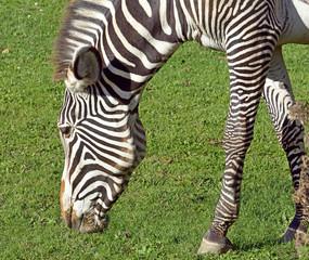Grevy's Zebra - Equus Grevyi, rarest species of zebra