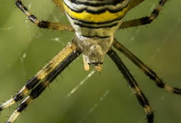 Araignée sur sa toile - Argiope